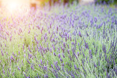 Lavender flower field at sunset, fresh purple aromatic flowers for natural background. Stock Photo