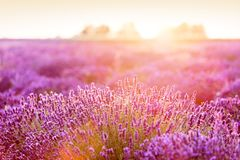 Lavender flower field at sunset. Royalty Free Stock Photo