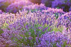 Lavender flower field at sunset. Stock Photo