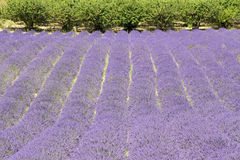 Lavender flower field, with tree, Provence. France Stock Photography