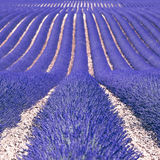 Lavender flower fields as background. Provence. Lavender flower blooming fields in endless rows as a pattern or texture. Landscape in Valensole plateau, Provence Stock Image