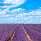 Lavender flower fields horizon. Provence, France Stock Photo