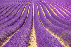 Lavender flower fields pattern. Provence, France. Lavender flower blooming fields in endless rows as a pattern or texture. Landscape in Valensole plateau Royalty Free Stock Photos