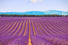 Lavender flower fields trees row. Provence. Lavender flower blooming fields in endless rows and trees on background. Landscape in Valensole plateau, Provence Royalty Free Stock Image
