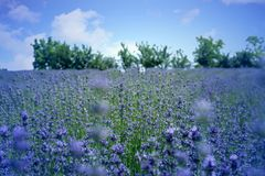 Lavender flower in flower fileds, Italy Stock Images
