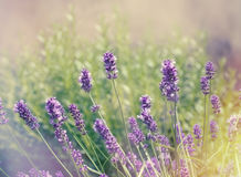 Lavender flower in flower garden, selective and soft focus on lavender flower Royalty Free Stock Photo