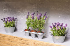 Lavender. Flower in flowerpot like room decoration Royalty Free Stock Photography