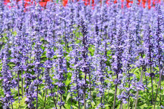 Lavender. And flower flowers in various weaves Royalty Free Stock Photo