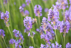 Lavender flower Stock Photo