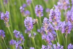 Lavender flower. In full bloom Stock Photo
