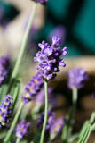 Lavender Flower in Garden Stock Photo