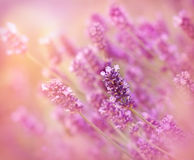 Lavender flower Royalty Free Stock Photography