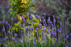 Lavender flower in garden. Beautiful lavender flower in garden Royalty Free Stock Photos