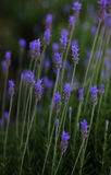 Lavender flower in garden. Beautiful lavender flower in garden, dark colors Stock Photography