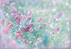Lavender in flower garden Royalty Free Stock Photos