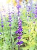 Lavender flower in garden Stock Images