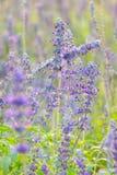 Lavender flower in The garden Stock Photography