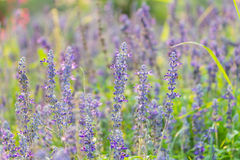 Lavender flower in The garden Royalty Free Stock Photos