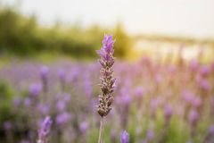 Lavender flower at the garden in the evening. royalty free stock photo