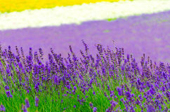 Lavender flower   in garden Royalty Free Stock Photo