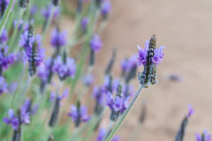 Lavender flower in the garden. Lavender flower in the mint family Royalty Free Stock Images