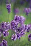 Lavender flower in the garden,park,backyard,meadow blossom in th stock images