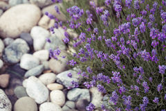 Lavender flower in the garden,park,backyard,meadow blossom in th Stock Photography