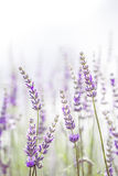 Lavender flower in the garden,park,backyard,meadow blossom in th royalty free stock images