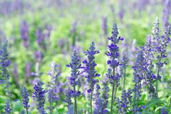 Lavender flower in graden. Beautiful lavender flower in graden stock photography