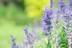 Lavender flower in graden. Beautiful lavender flower in graden stock image