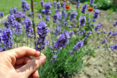 Lavender flower Royalty Free Stock Images