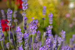 Lavender flower honey bee Royalty Free Stock Images