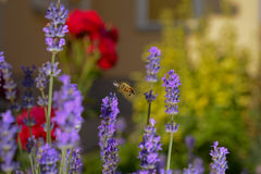 Lavender flower honey bee Royalty Free Stock Image