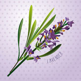 Lavender. Flower illustration with background vector illustration