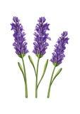 Lavender flower illustration Stock Photos