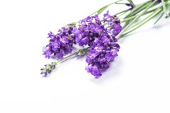 Lavender flower isolated white background. Lavender flower isolated on white background Stock Images