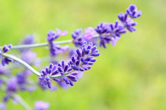 Lavender flower Lavandula with green background Stock Image