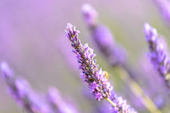 Lavender flower. Lilac lavender field around Valensole, Provence Royalty Free Stock Photography