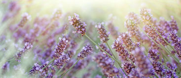Lavender flower lit by sun rays Royalty Free Stock Images