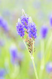 Lavender flower Royalty Free Stock Photo