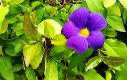 Lavender Flower royalty free stock image