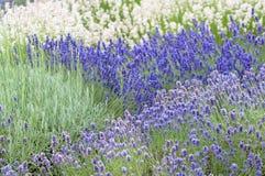 Lavender flower Natural look of Lavender flowers Lavandula Stock Photos