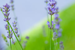 Lavender flower Natural look of Lavender flowers Lavandula Stock Photography