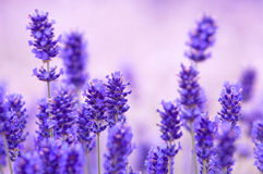 Lavender flower Natural look of Lavender flowers Lavandula Royalty Free Stock Photo