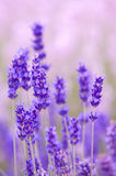 Lavender flower Natural look of Lavender flowers Lavandula Stock Photos