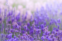 Lavender flower Natural look of Lavender flowers Lavandula Stock Photo