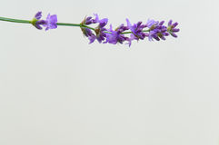 Lavender flower Natural look of Lavender flowers Lavandula Royalty Free Stock Images