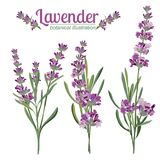 Lavender Flower On White Background. Colorful Vintage Illustration Stock Photos