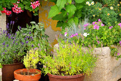 Lavender flower pot. Mediterranean plants stock photography