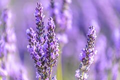 Lavender flower, Provence. Lavender field around Valensole Plateau, Provence Royalty Free Stock Image